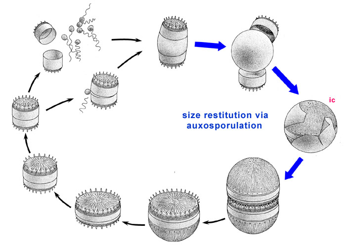 Algae World The Diatom Life Cycle Size Restoration Via Auxospore