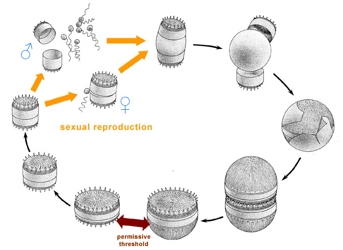 Diatom reproduction asexual