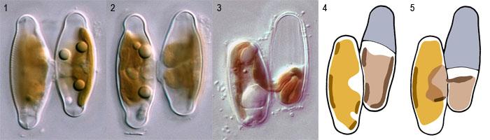 Plasmogamy