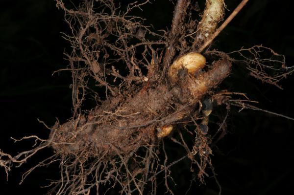 Fern Rhizome Ferns of Thaila...